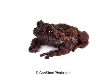 Gordons mossy frog, Theloderma gordoni, on white - Gordons...