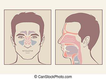 gorge, anatomie, nez