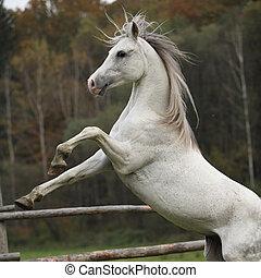 Gorgeous arabian stallion prancing on pasturage in autumn