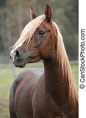 Gorgeous arabian stallion with long mane in autumn
