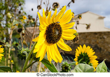 Gorgeous beautiful shining sunflower in the summer sun -...