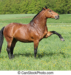 Gorgeous big brown horse kicking in spring nature