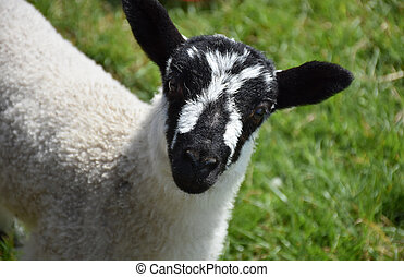 Cute black and white speckled young lamb in England.