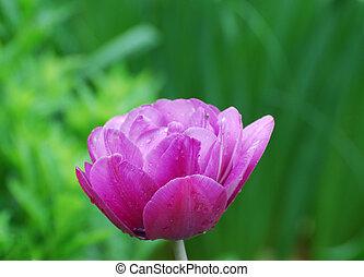 Gorgeous Blooming and Flowering Dark Pink Parrot Tulip