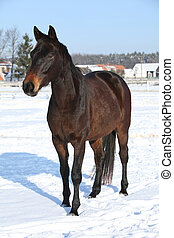Gorgeous brown horse in winter - Gorgeous brown horse...