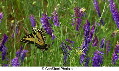 Gorgeous Butterfly on Purple Lupine - Western Tiger...