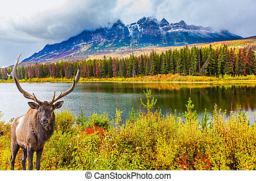 Gorgeous deer with horns grazing on the lake. The Rocky ...