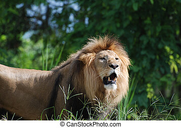 Gorgeous Face of a Magnificent Lion in the Wild