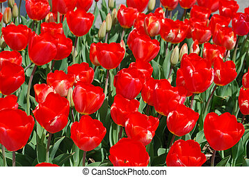 Gorgeous Field of Blooming Red Tulips in a Garden