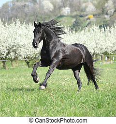 Gorgeous friesian mare running in front of flowering plum trees