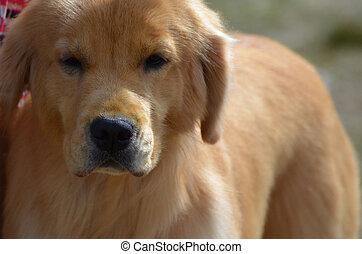 Gorgeous Golden Pup