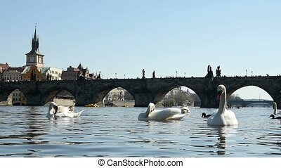 Gorgeous gracious white swans swimming near the Charles bridge in slow motion