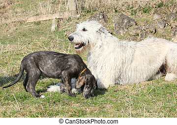 Gorgeous Irish Wolfhound parenting the young one