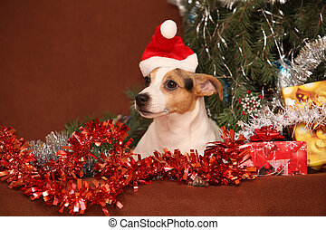 Gorgeous Jack russell terrier with santa hat in a christmas...