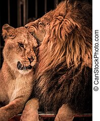 Gorgeous lion and lioness on circus arena