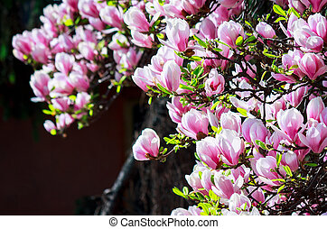 gorgeous magnolia flowers on a dark background. lovely...