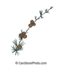Gorgeous natural drawing of larch branch with needle-like foliage and cones. Evergreen coniferous tree sprig. Christmas decorative design element. Realistic vector illustration in antique style.