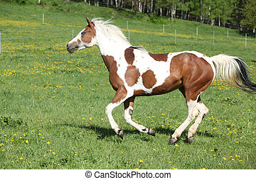 Gorgeous paint horse mare running on pasturage - Gorgeous ...