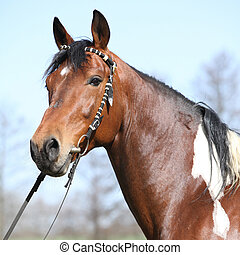 Gorgeous pinto stallion with nice bridle standing