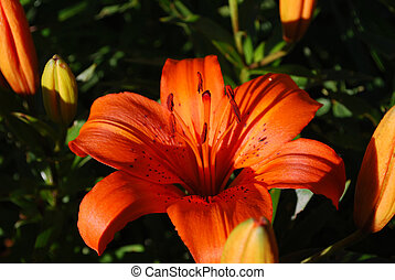 Gorgeous Pretty Orange Lily Flower Blooming in a Garden