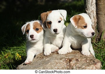 Gorgeous puppies of Jack Russell Terrier in the garden