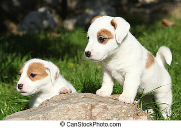 Gorgeous puppies of Jack Russell Terrier on some stone -...