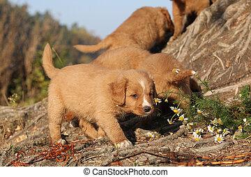 Gorgeous puppies of Nova Scotia in nature