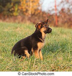 Gorgeous puppy of german shepherd sitting