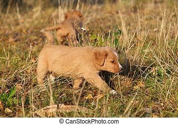 Gorgeous puppy of Nova Scotia in nature