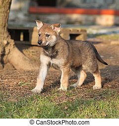 Gorgeous puppy of wolfdog in winter