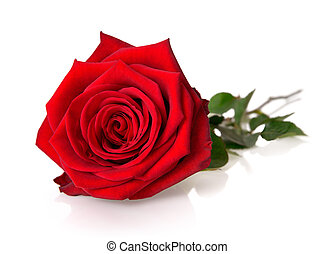 Fully blossomed, gorgeous red rose with stem and leaves on white background, with reflection