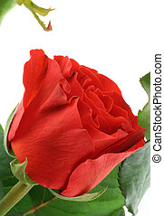 gorgeous red rose on