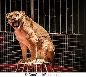 Gorgeous roaring lioness sitting in a circus arena cage