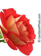 gorgeous rose on whi