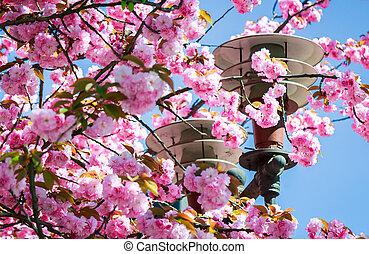 gorgeous sakura flowers on a blue sky background - gorgeous...