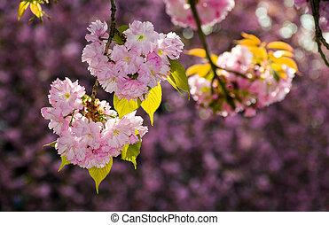 gorgeous sakura flowers on a purple background. lovely...