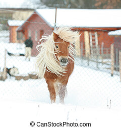 Gorgeous shetland pony with long mane in winter - Gorgeous...