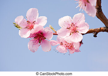 Gorgeous spring cherry flowers in sunshine.
