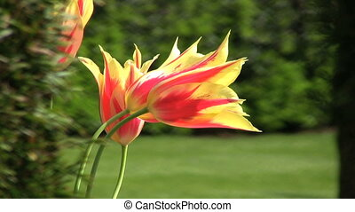 Gorgeous Spring Tulip Flowers