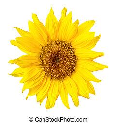 Gorgeous sunflower on white