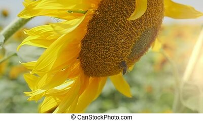 Gorgeous sunflower with a slanted head on an agro area in...
