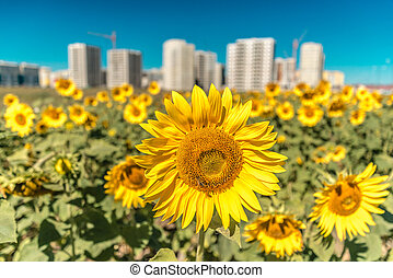 Gorgeous sunflowers on a background of new buildings and blue sky