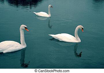 Gorgeous swans at the deep blue alps lake