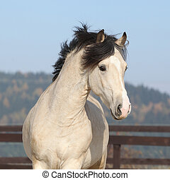 Gorgeous welsh cob running in autumn - Gorgeous welsh cob ...