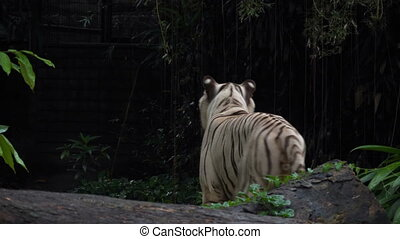 Gorgeous white tiger walking in Jungles.