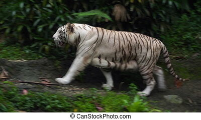 Gorgeous white tiger walking in nature.