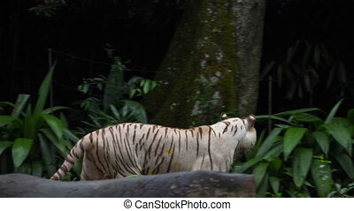 Gorgeous white tiger walking.