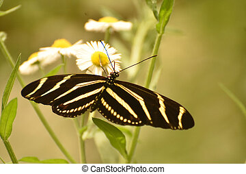Gorgeous Zebra Butterfly in the Beautiful Sunlight