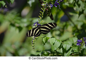 Gorgeous Zebra Butterfly on Some Blue Flowers