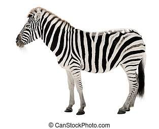 Gorgeous zebra on white background - High resolution...